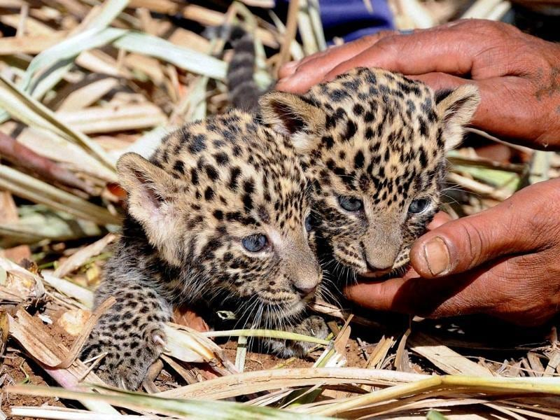 Two leopard cubs which were found at Jaipuria Village near Mysore. (PTI photo)