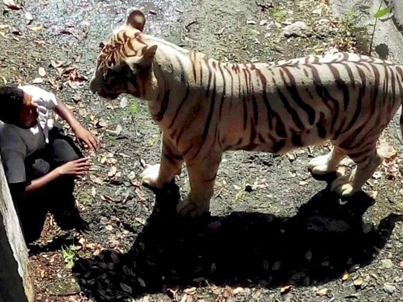 A white tiger on Tuesday attacked and killed a schoolboy who appeared to have jumped or fallen into its enclosure at the zoo in New Delhi, witnesses said. (PTI Photo)
