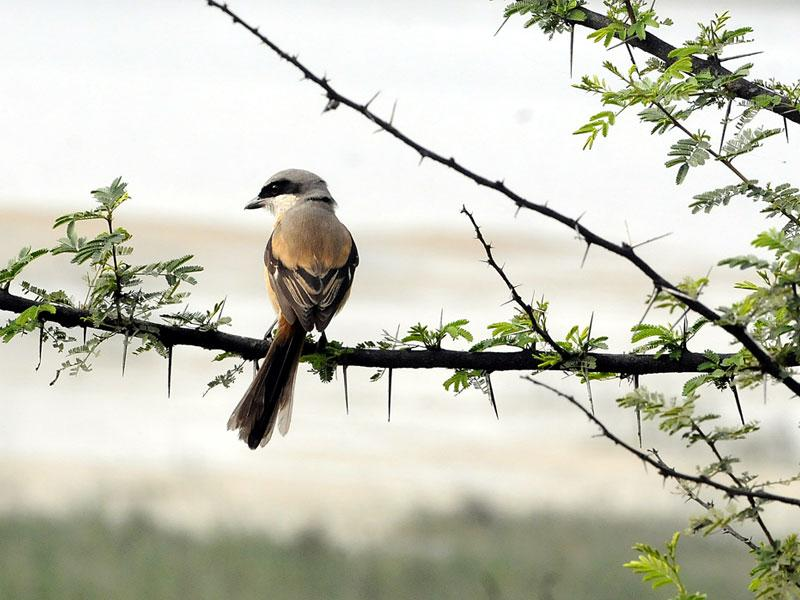 A Shrike bird at Sirpur Lake in Indore sitting pretty on a branch of a tree waiting to herald spring with its tweedle. (Arun Mondhe/HT photo)