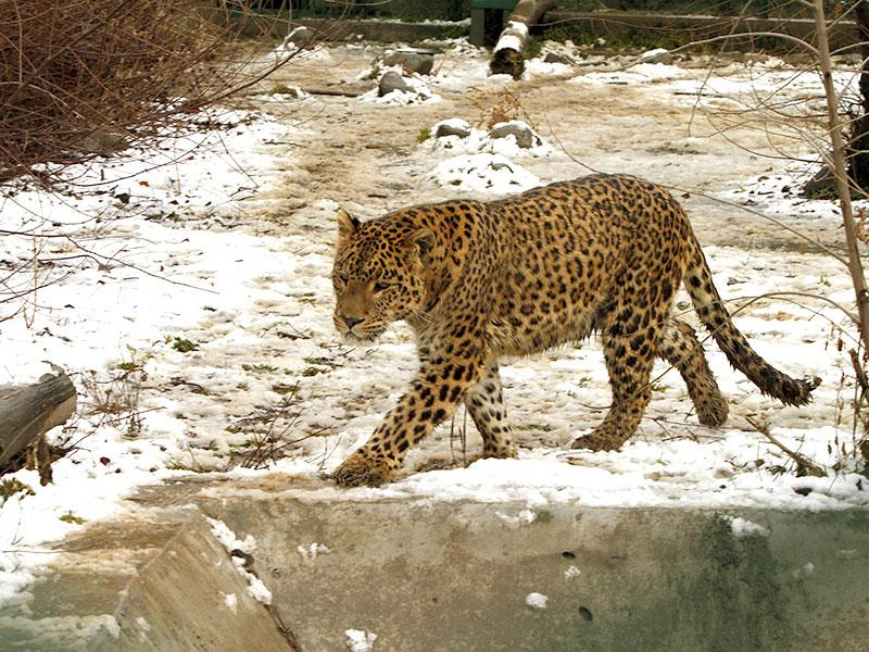 A leopard walks in its snow covered enclosure at the Dachigam National Park on the outskirts of Srinagar, Kashmir. (AP photo)