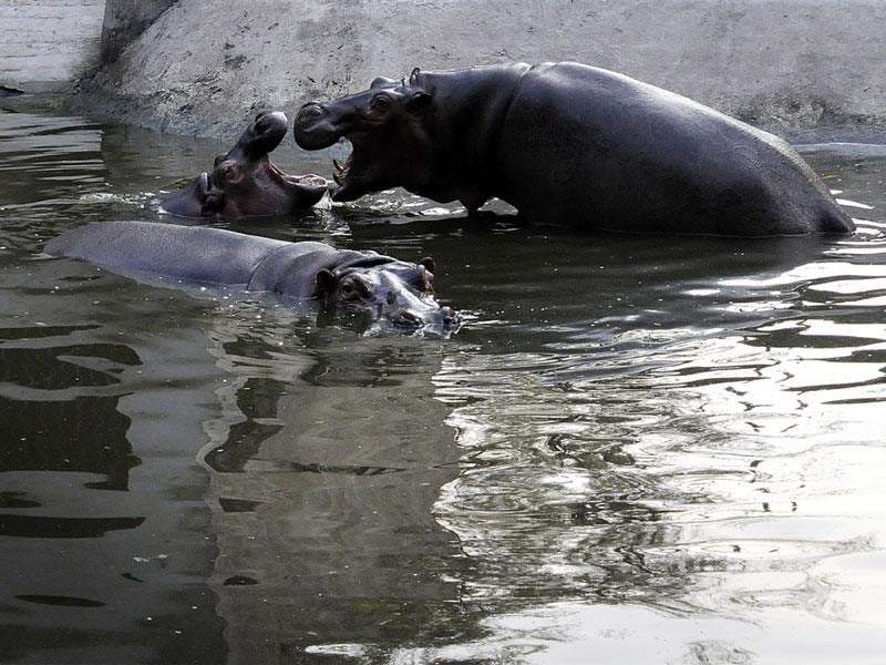 Hippopotamuses seen playing in water at Indore zoo on Tuesday. (Arun Mondhe/HT photo)
