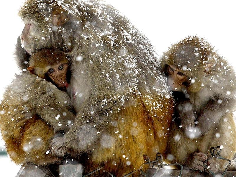 A monkey keeps a young one close to his body to protect it from the snow during heavy snowfall at Tangmarg, about 38 kilometres from Srinagar. (Waseem Andrabi/HT Photo)