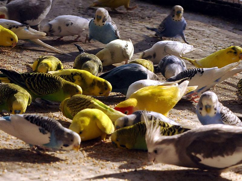 Love birds eating grains on a bright sunny morning in Indore on Friday. (Arun Mondhe/HT photo)