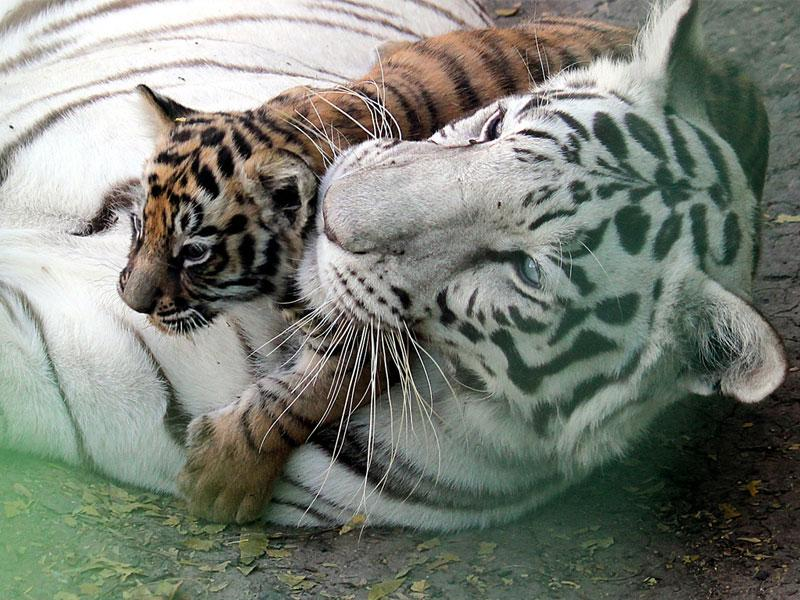 A two-month-old cub of white tigress with its mother at Indore zoo on Friday. (Shankar Mourya/HT photo)