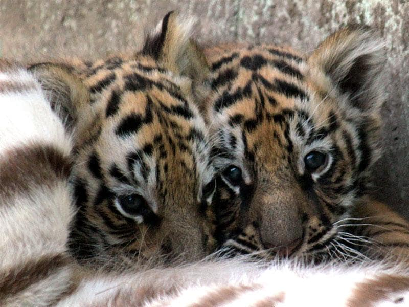 The two-month-old cubs of white tigress at Indore zoo on Friday. (Shankar Mourya/HT photo)