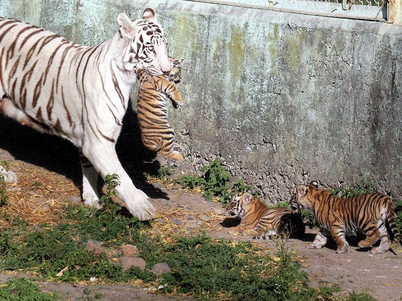 The two-month-old cubs of white tigress with their mother at Indore zoo on Friday. (Shankar Mourya/HT photo)