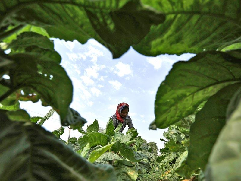 A labourer works in a tobacco field on the outskirts of Ahmedabad. FM Arun Jaitley came down heavily on smokers and tobacco consumers with a steep increase in excise rate in tax proposals in his budget for 2015-16. (Reuters photo)