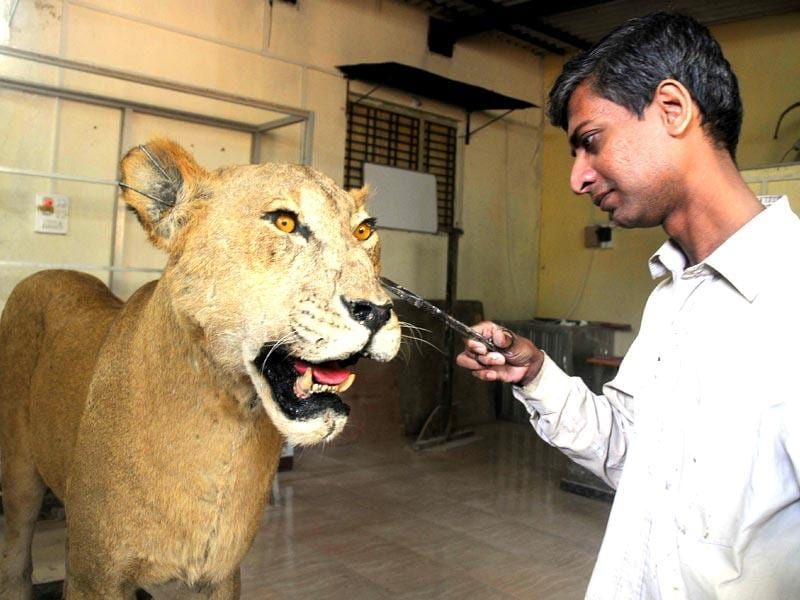 Lioness Shobha's body has been preserved through taxidermy by sculptor Chitral Ashok Dhandar at Taxidermy Center in Sanjay Gandhi National Park, Mumbai. Shobha, the oldest lioness at SGNP dies in October 2014 after prolonged illness. (Sanjay Solanki/HT photo)