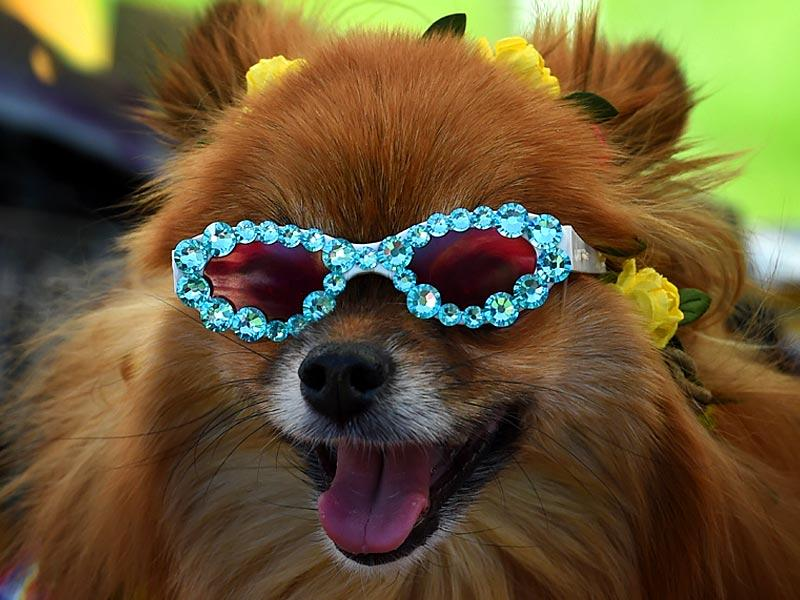 Beverly Hills, California, USA: A dog wears sunglasses at the annual 'Woofstock 90210' dog show in Beverly Hills, California on March 8, 2015. The annual event is held to raise money for animal welfare as well as find homes for rescue dogs.