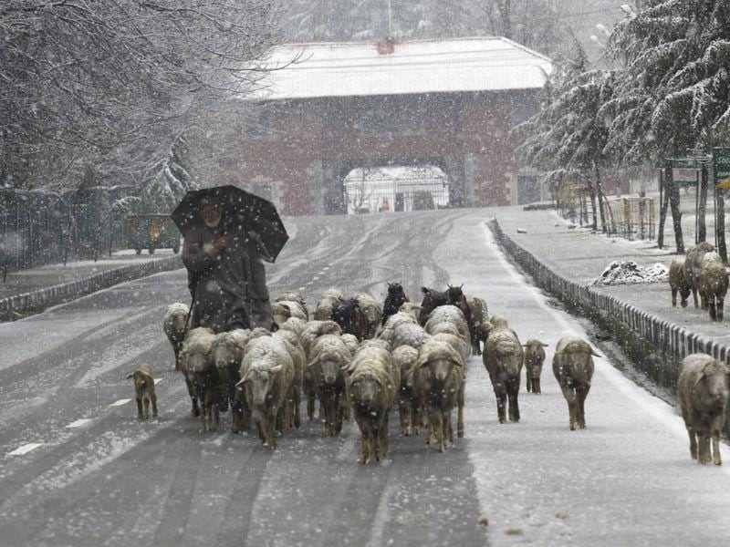 A Kashmiri man herding a flock of sheep during snowfall in Srinagar. Waseem Andrabi/HT