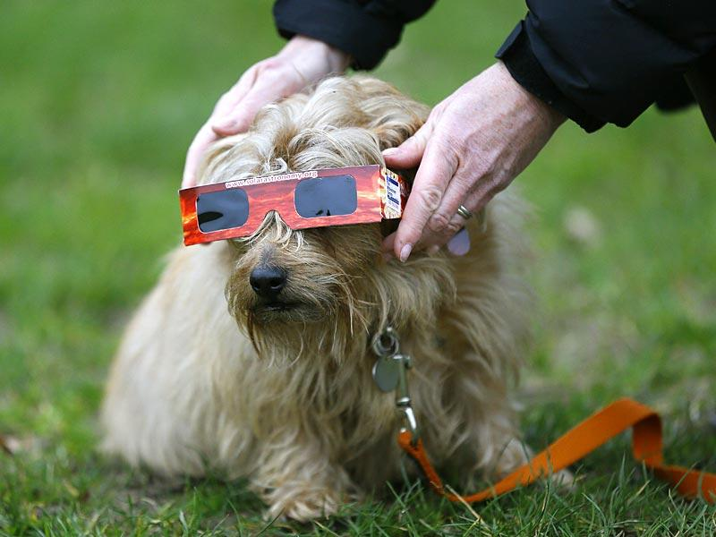 A dog is given protective glasses by its owner prior to the solar eclipse in Regent's Park in London. (AP Photo)