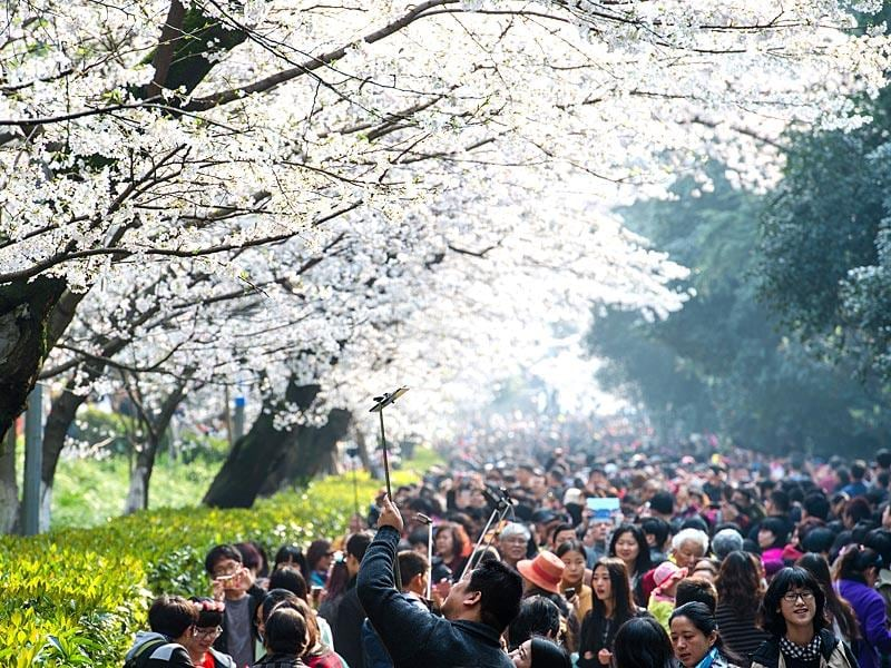 This picture taken on March 21 shows visitors walking amongst the cherry blossoms in Wuhan in central China's Hubei province. The cherry blossoms, now in full bloom, attracted tens of thousands of visitors, local media reported. (Photo: AFP)