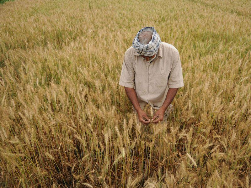 As the havesting season is starting from April 13th a farmer is seen rippening wheat crop in his fields.Pardeep Pandit/HT Photo