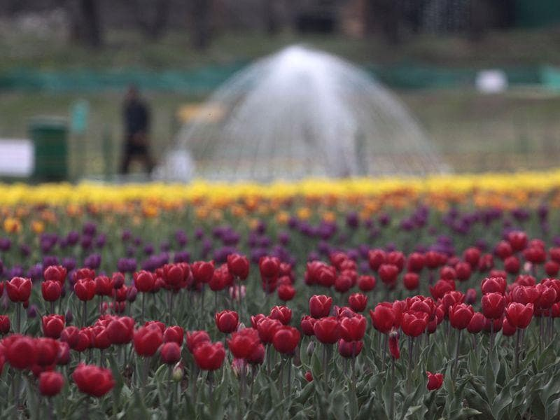 A view of full bloom tulip flowers at Tulip Graden banks of Dal Lake in Srinagar. Waseem Andrabi/HT