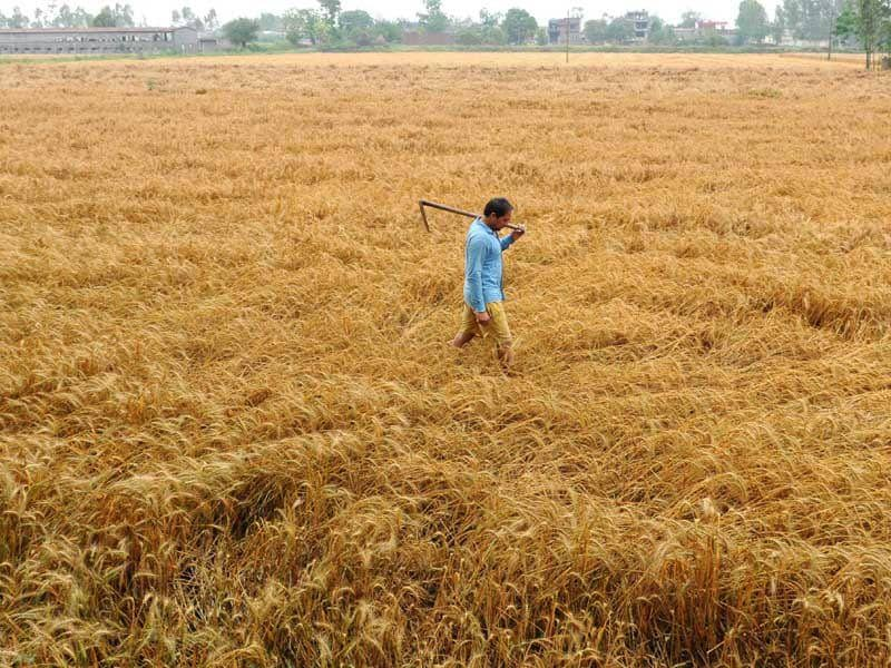 A farmer inspecting the wheat crop after rain. (Bharat Bhushan/HT Photo)