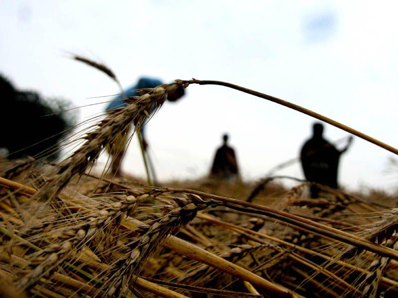 Farmers inspecting the wheat crop after rain at village Mehmadpur in Patiala. Bharat Bhushan/HT