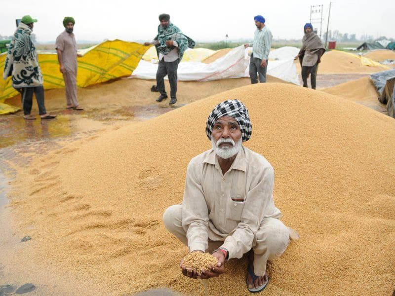 A farmer showing his wheat crop during rainfall at village Mehmadpur open grain market in Patiala. Bharat Bhushan/HT