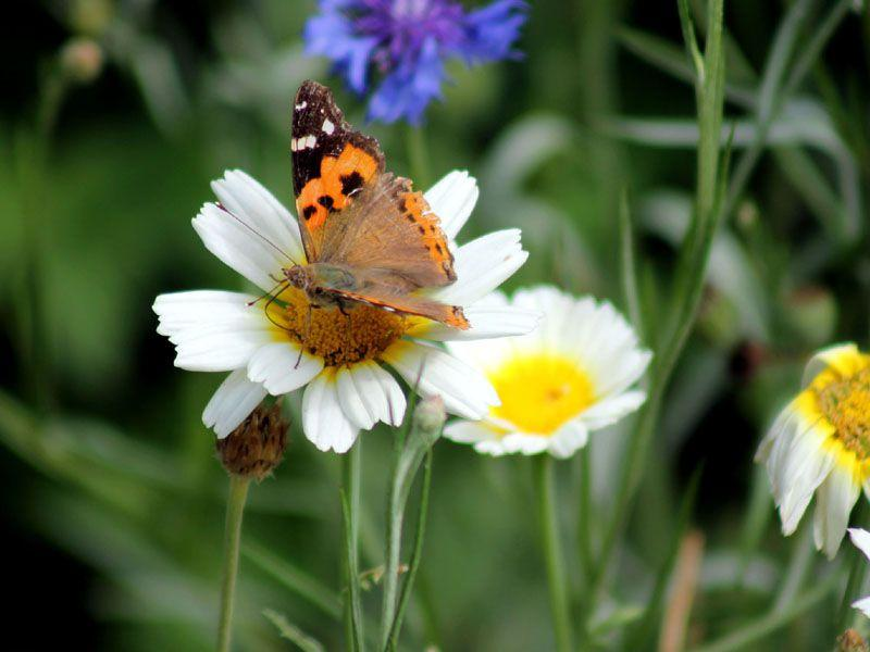 A butterfly collecting nectar from a flower in Manali. Aqil Khan/HT