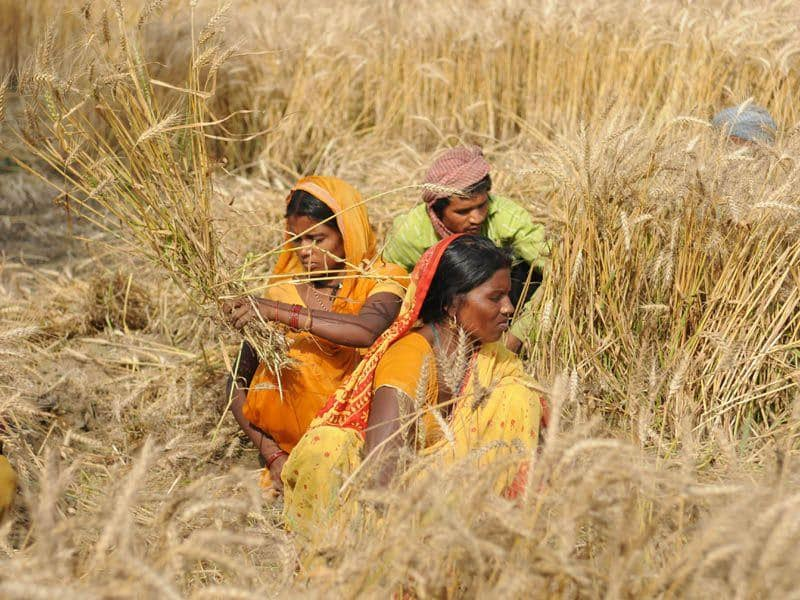Labourers manually harvesting the wheat crop in village Randhawa Masanda on the out skirts of Jalandhar. Pardeep Pandit/HT