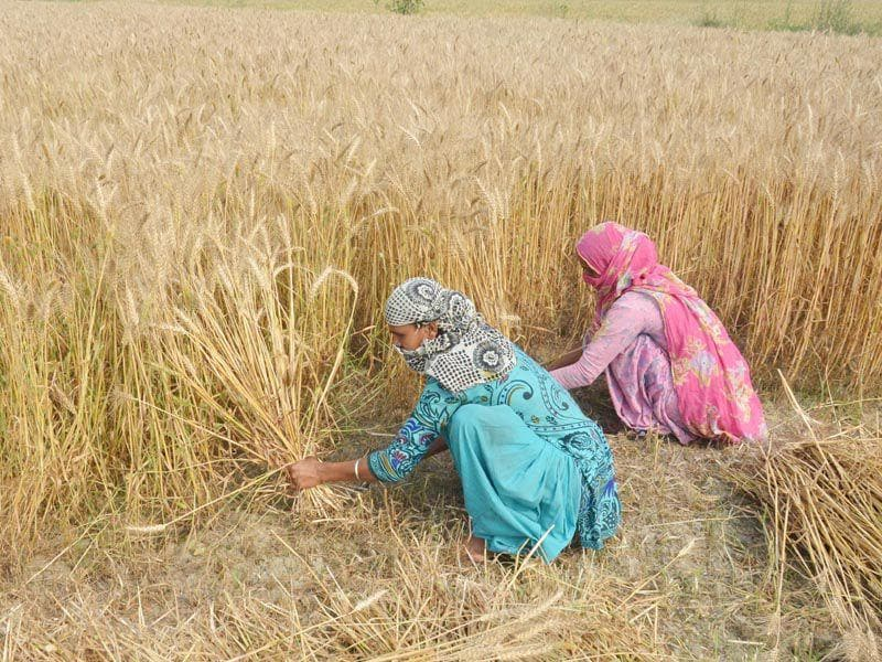 Women harvesting wheat crop at a village near in Amritsar. Sameer Sehgal/HT