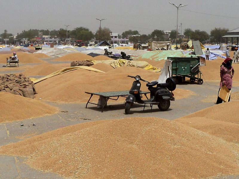 Unsold wheat lying in Kotkapura grain market. HT Photo