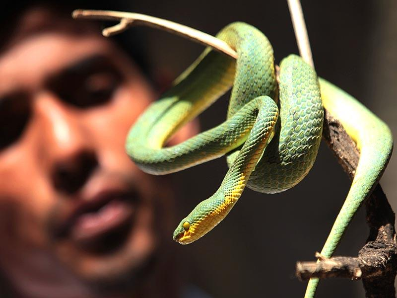 Yogesh Panhale rescued Bamboopit Viper, a poisonous snake from Malabar Hill in Mumbai. (Anshuman Poyrekar/HT photo)