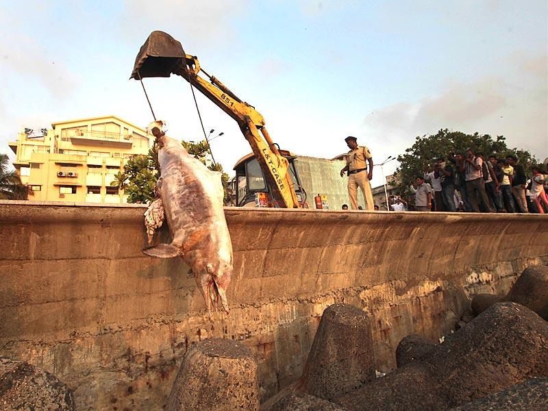 BMC staff cleared a 12-feet-dead dolphin's body at Marine Driver, in Mumbai. (Anshuman Poyrekar/HT photo)