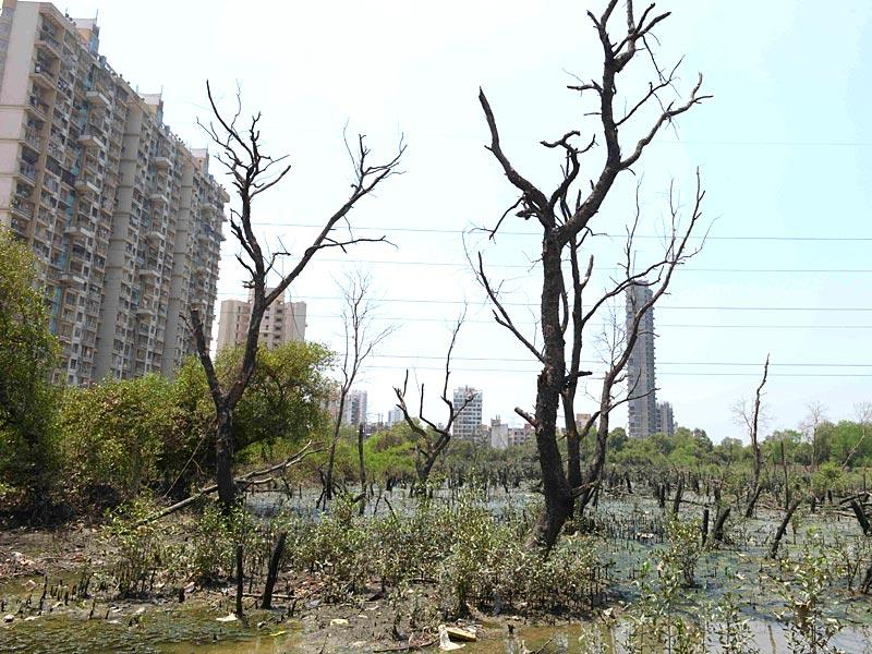 Mangrove trees were destroyed at Airoli's Sector 20, in Navi Mumbai.(Photo: Bachchan Kumar)