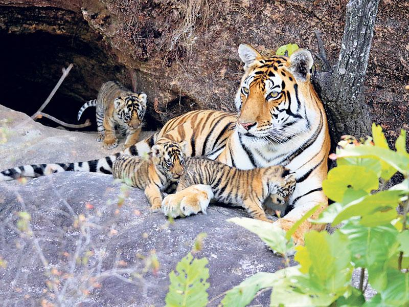 A tigress with its two-month-old cubs at Sanjay Tiger Reserve in Sidhi. The birth of cubs has brought cheer to the wildlife enthusiasts.
