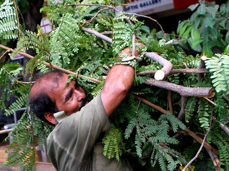BEST workers trim trees on World Labour Day as Mumbai traffic police do not permit this on weekdays citing traffic congestion, at Dadar in Mumbai. (Arijit Sen/HT photo)
