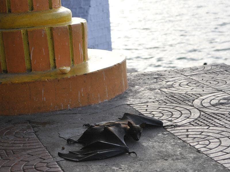 Bats dropped dead in Bhopal on Tuesday as the city sizzled at 45 degree Celsius. (Praveen Bajpai/HT photo)