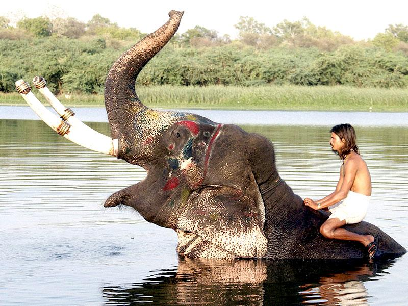 Animals too brace the heat: A mahout sits on his elephant in Sabarmati river to protect from the heat on a hot summer day, Ahmedabad.(PTI Photo)