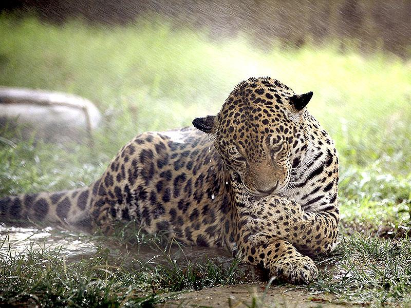 Animals too brace the heat: A jaguar is showered with water by zoo staff to make the leopard cool off as temperatures soar in New Delhi. (HT Photo)
