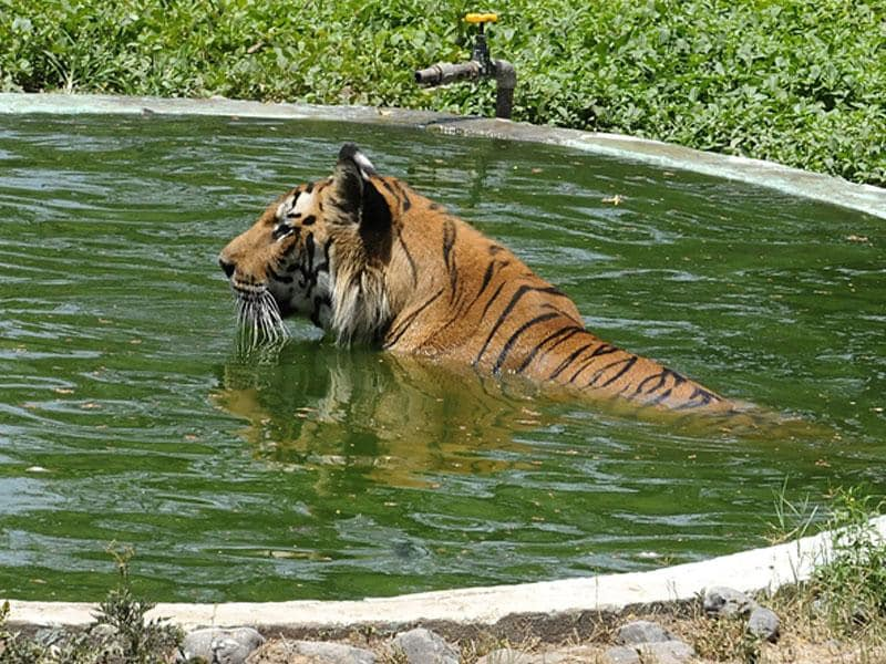 A tiger relaxes in a pool at Indore's Kamla Nehru zoo on Friday. (Shankar Mourya/HT photo)