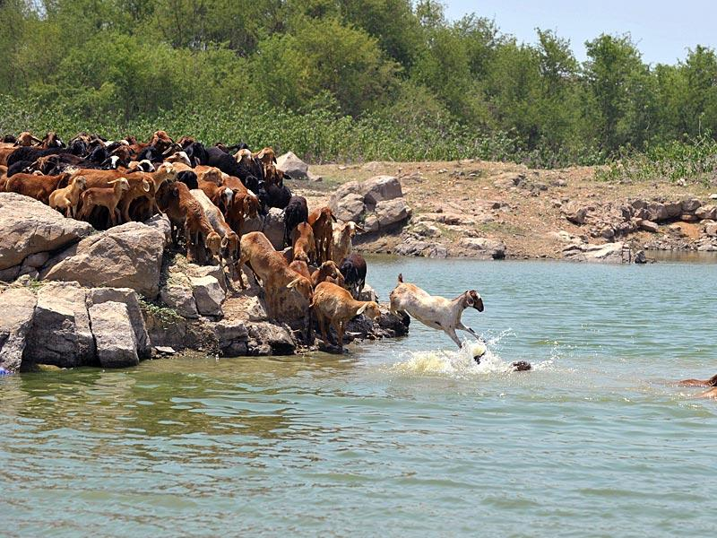 Cattle wading in the water in Telengana where the death toll has risen to over 250 and over 850 in Andhra Pradesh.(AFP Photo)