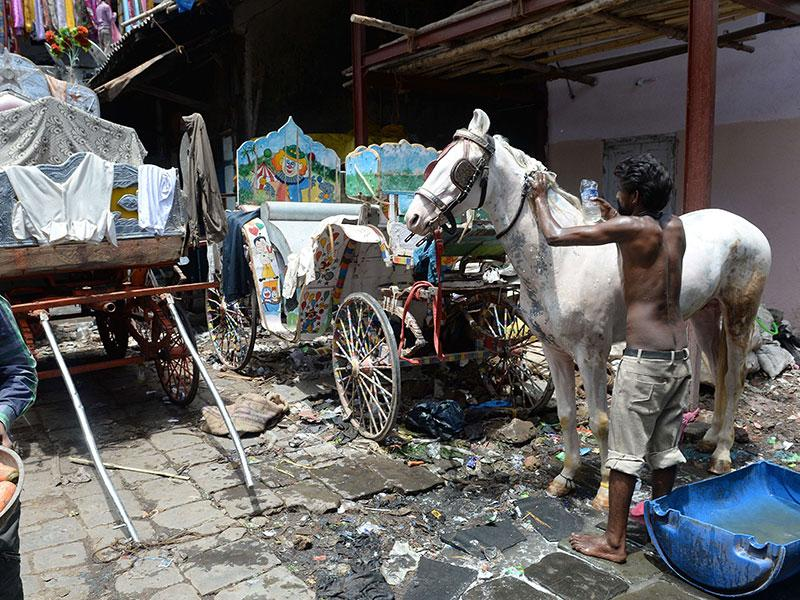 A man scrubs a pony beside 'Victorias' carriages inside a warehouse/stable in Mumbai. The HC agreed with animal welfare groups, who had petitioned for a ban citing poor treatment of the horses, that the practice was cruel. (AFP photo)