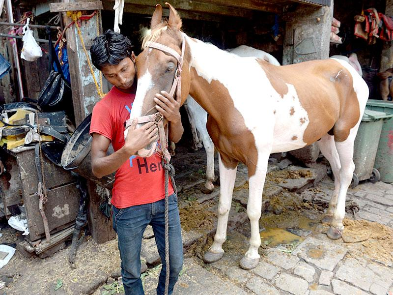 A groom tends to a pony used to pull 'Victorias' carriages inside a warehouse/stable in Mumbai. The silver-coloured carriages have been plying Mumbai's streets since British colonial times, and for years have been a tourist attraction. (AFP photo)
