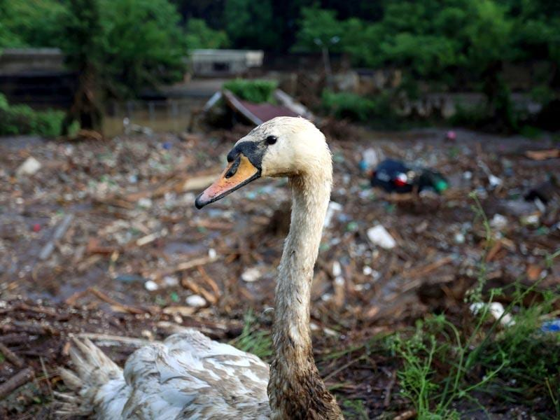 A wounded swan is seen at the flooded zoo area in Tbilisi, Georgia on Sunday. (AP Photo)