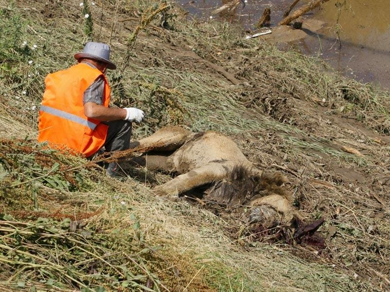 A municipal worker sits near the body of a lion at a flooded zoo area in Tbilisi, Georgia. (AP Photo)