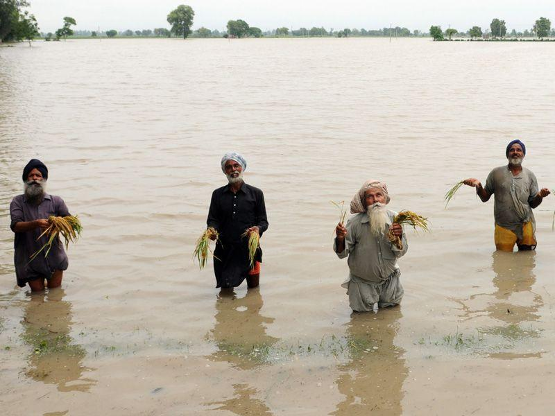Farmers showing damaged paddy after heavy rain at village Badbar in Barnala district. Bharat Bhushan/HT