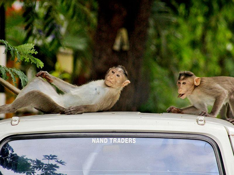 Three monkeys from SGNP forest entered a residential complex at Thane's Samta Nagar in search of food, creating much excitement and ruckus among residents. (Photo: Praful Gangurde)
