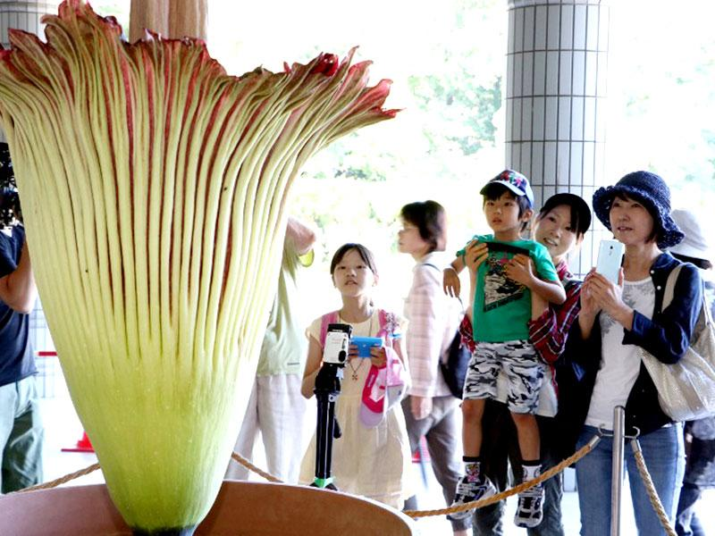A Titan Arum, believed to be the world's largest flower, bloomed this week in Tokyo's Jindai Botanical Garden for the first time in five years. The two-metre high (6.5 feet) flower has attracted hundreds of visitors to the garden forcing it to extend its opening hours. (AFP Photo)