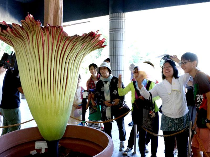 Titan Arum, a herbaceous plant, blooms rarely, maybe three or four times in its forty-year life, and that too only for two or three days. (AFP Photo)
