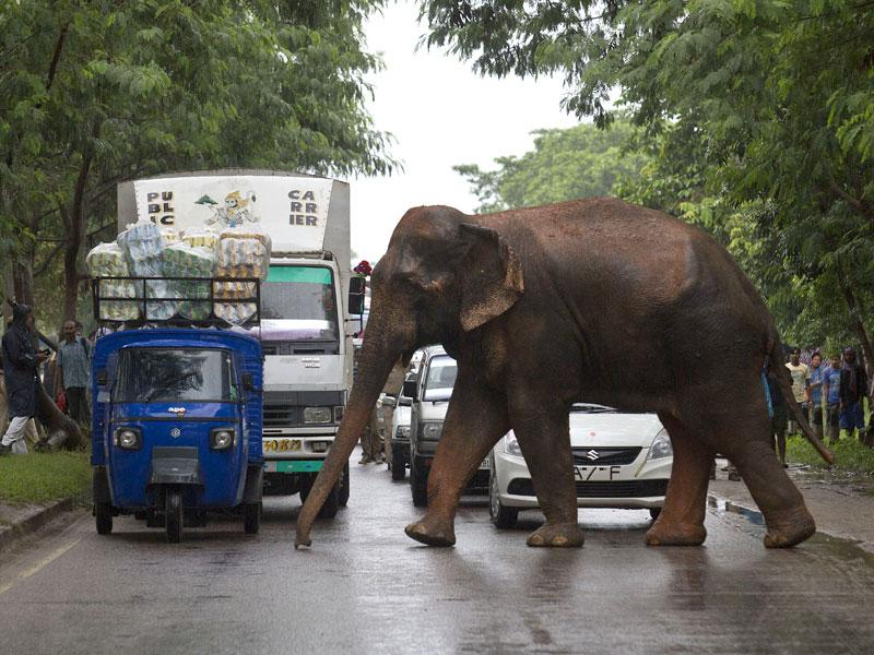 Commuters stop their vehicles and watch the male elephant. (AP Photo)