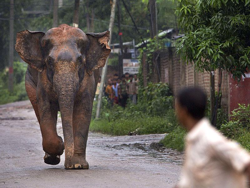 The elephant chases people on a road as it crosses a highway on the outskirts of Guwahati. There were no injuries though. (AP Photo)