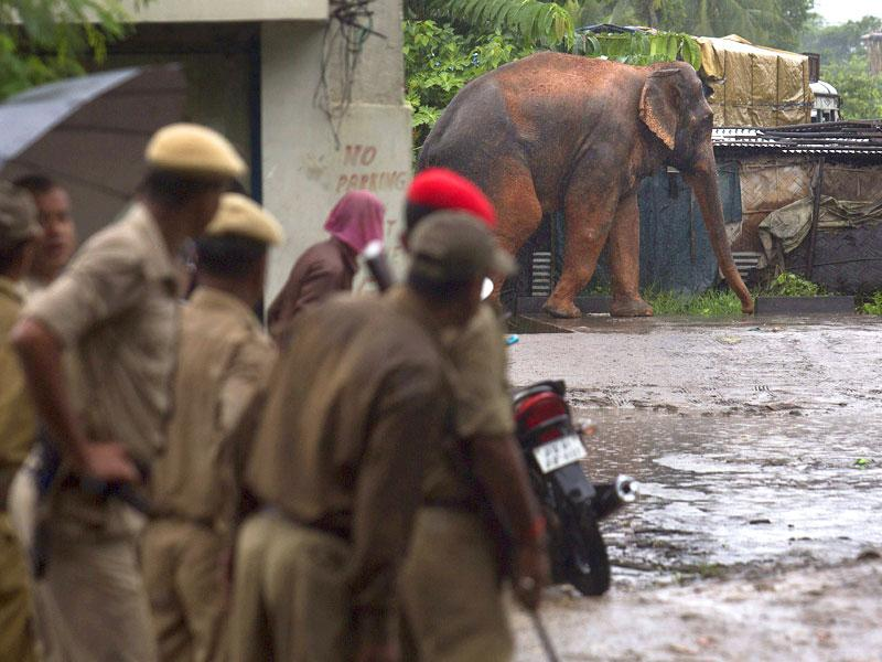Police officials watch a confused wild male elephant, who got separated from his herd, walk in a compound on the outskirts of Guwahati in Assam. ((AP Photo)