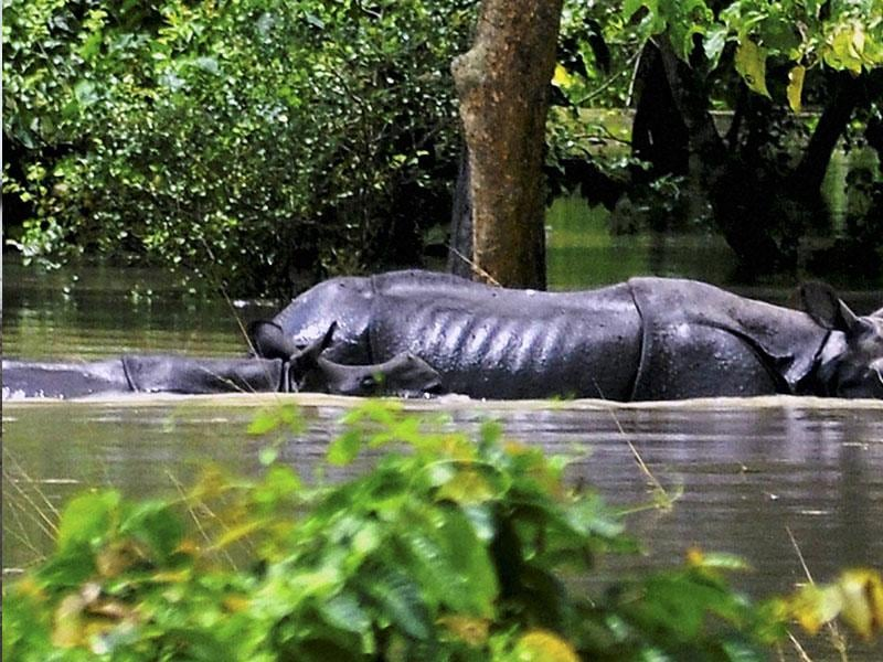 A mother rhinoceros along with its calf cross through flooded water inside the Pobitora wild life sanctuary in Morigaon district of Assam. (PTI Photo)