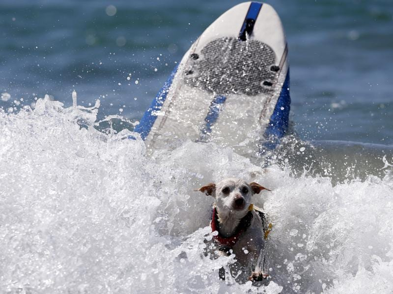 A dog wipes out after his run.  According to the competition's Facebook page, Kiehi won the competition in the small dog category, while Brandy, Kalani and Kona Kai won in the medium, large and extra large categories respectively.  (REUTERS)