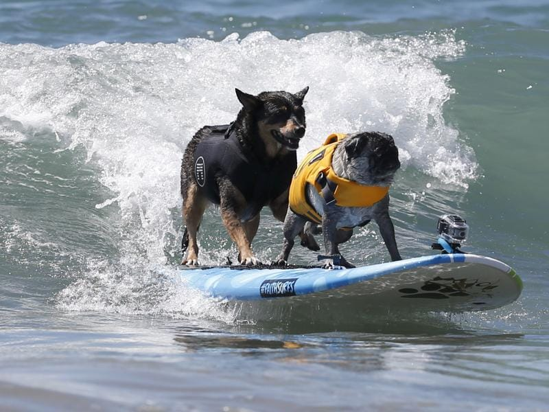 Man's best friends had a day out in style at the 7th Surf City Surf Dog tournament in Huntington Beach, California, on September 27. These two buddies here  know how to make the most of the waves. (REUTERS)