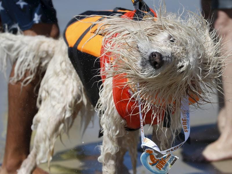 A dog shakes off after collecting the participant medal. Each dog was made to wear life-vests for safety while they were surfing the waves.  (REUTERS)